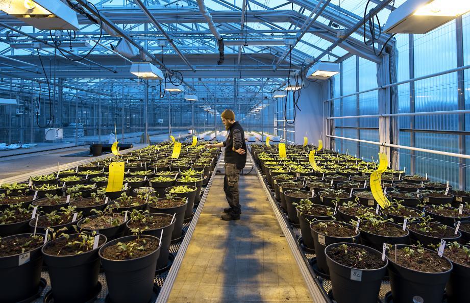 Dyrkingen utføres i veksthus på SLU (Sveriges Lantbruksuniversitet) i Alnarp. Foto: Anna Sigge