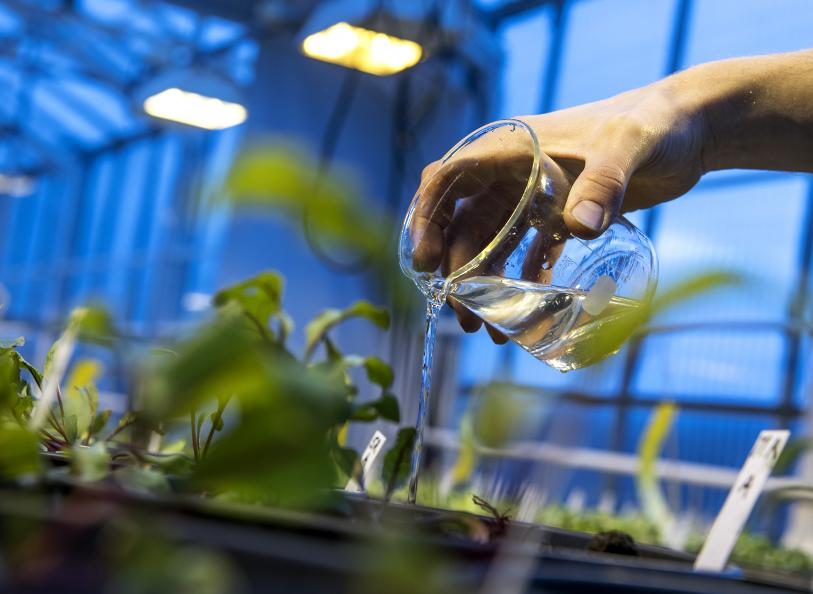 Plantene vannes med en gitt mengde to ganger i uken. Foto: Anna Sigge